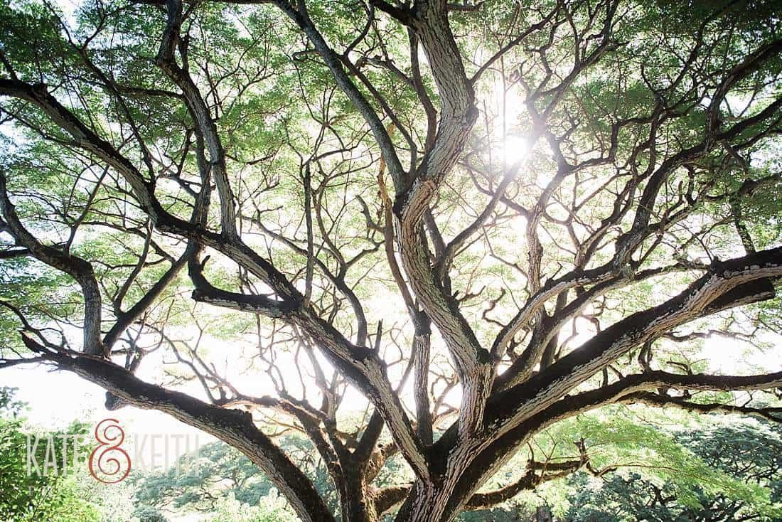 Kailua Hawaii Forest sunrise engagement photos giant tree