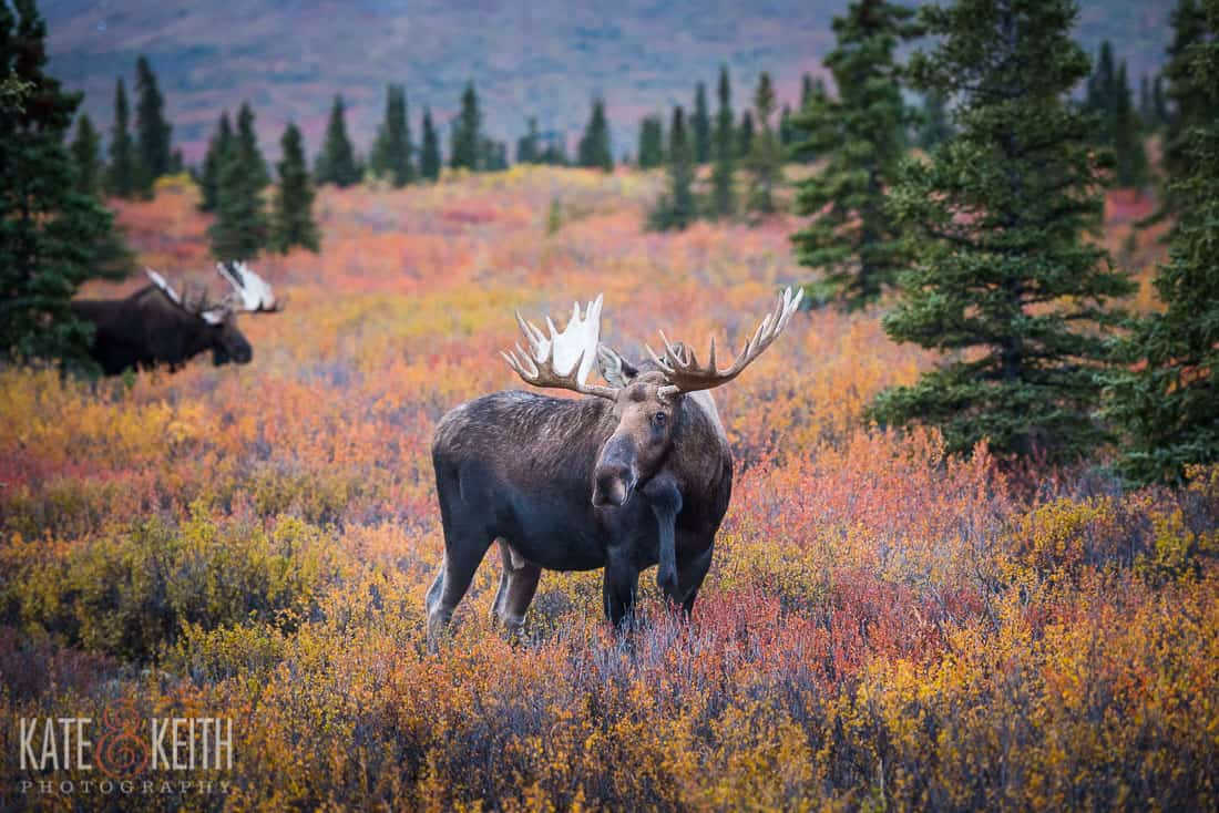Bull moose fall Denali National Park
