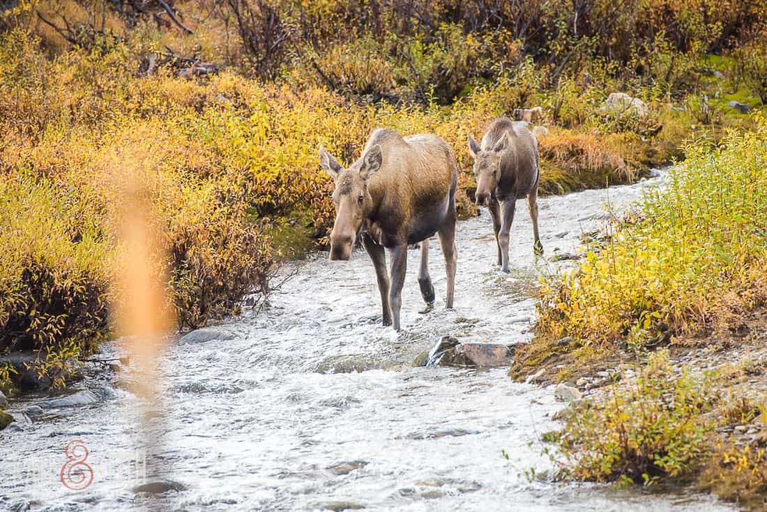 Moose calf Denali National Park Alaska mother stream