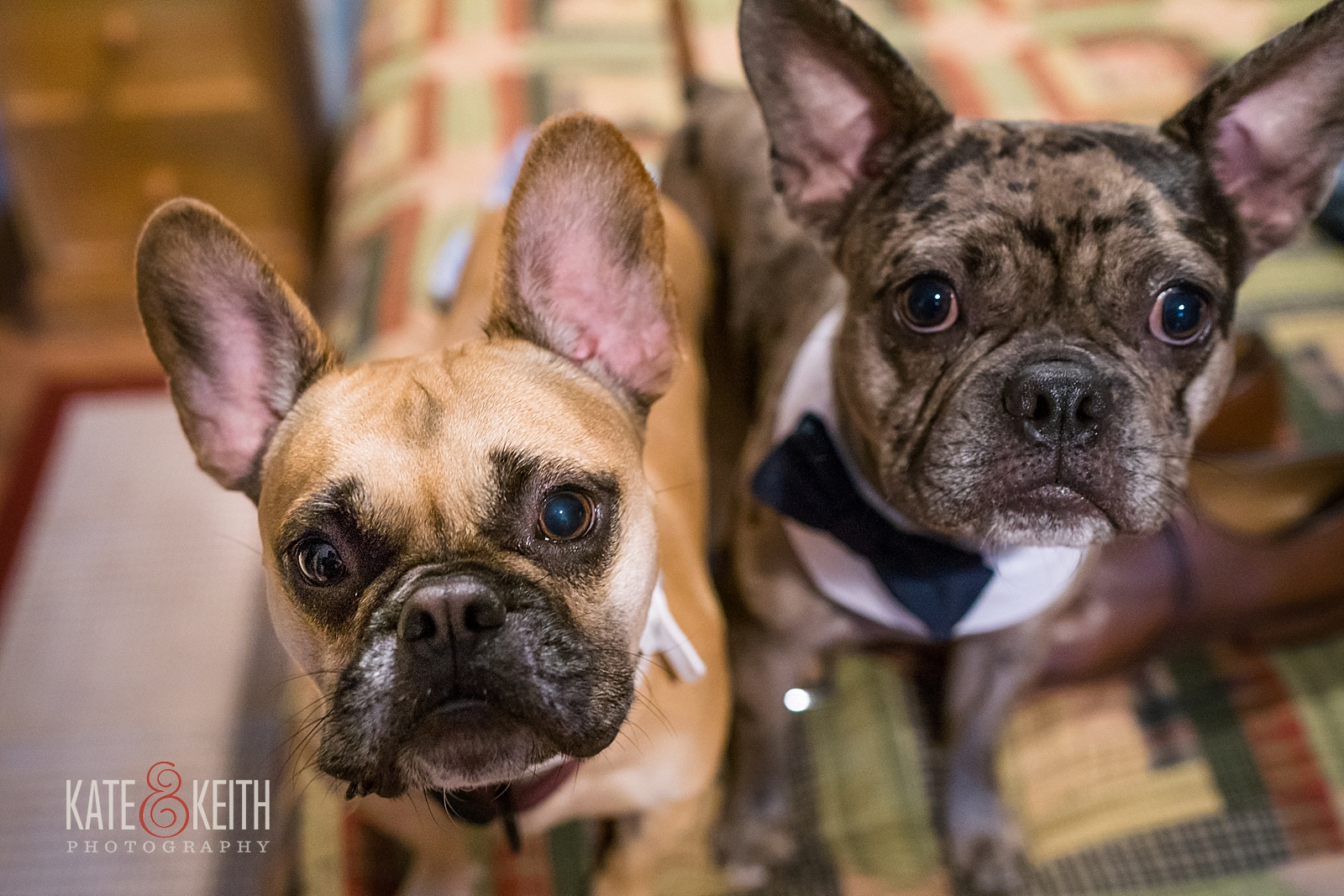 French Bulldogs wedding