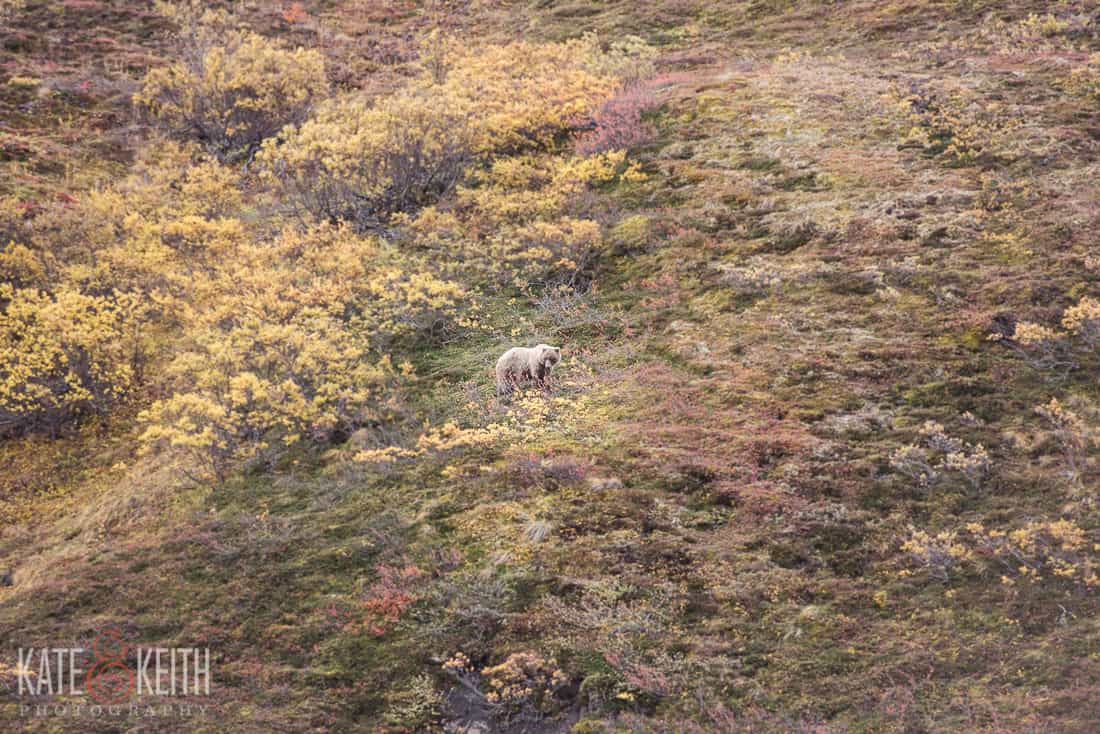 Grizzly bear Denali National Park Alaska